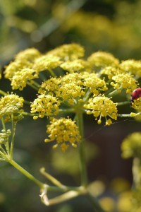 Fennel flower and ladybird